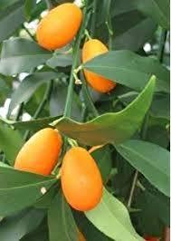 My Edible Fruit Trees Kumquat Trees QLDKumquat Tree Not Bearing Fruit