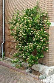 Wall Climbing Plants Crossword