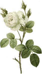 White rose with thorns   Public domain vectors