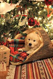 Dog  RUG!!!! Golden Retriever puppy under Christmas tree ...