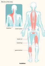 The basic parts of the human body are the head, neck, torso, arms and legs. How Many Muscles Are In The Human Body Plus A Diagram