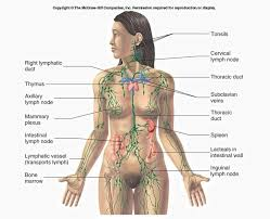 Lymphatic System Definition Function Structure Biology