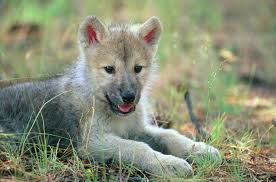 cute baby wolf howling. Wonderful Howling Wolves Images Cute Wolf Pup In Field HD Wallpaper And Background Photos With Baby Wolf Howling