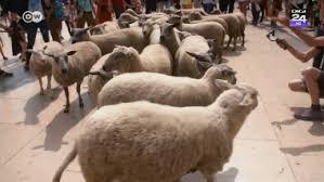 Oile salvate în Portul Midia, aduse la București. Ce se va întâmpla cu animalele