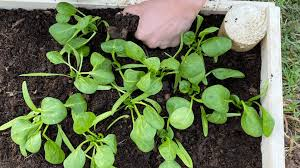 square foot gardening spinach helpful