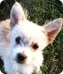white terrier mix puppies.  Mix Georgetown KY  Westie West Highland White Terrier Meet Poppy A Dog For  Adoption On Terrier Mix Puppies