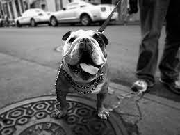Bulldog HD Wallpaper