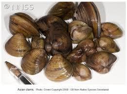 Asian clam corbicula fluminea