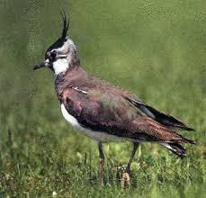 Урок окружающего мира в м классе по теме Луг природное  Вопрос Как вы думаете чем питаются птицы луга Где они устраивают гнезда Как приспособились к наземному гнездованию Питаются насекомыми и семенами