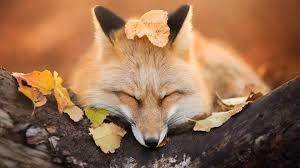 Renard repos | Fox rest - VOYAGE ONIRIQUE