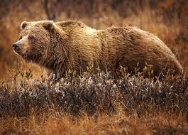 Bear Classification Chart Grizzly Bear Wikipedia