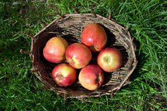green and red apples in basket. red apples in an old basket. green grass around. royalty free stock images and basket