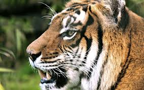 tiger face profile teeth free stock photos images hd wallpaper