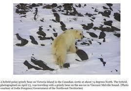 grolar bear size pizzly polarbearscience