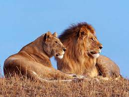 Lion And Lioness Wallpapers - Wallpaper ...