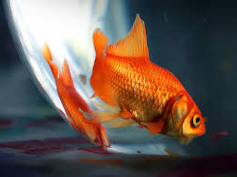 petco goldfish. Modren Goldfish IranianAmericans Sued Petco After Stores Allegedly Refused To Sell Them  Goldfish LAist Inside Goldfish 0