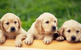 and at link to wallpaper puppies for free