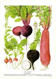 Types Of Radishes Chart Beet Radish Chart Root Vegetable Food Botanical Lithograph