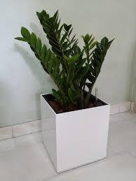 Office pot plants Modern Zamioculcas White Square Planter Skyland Gardening Skyland Gardening Office Plants Rental