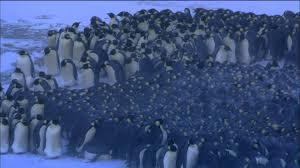 emperor penguin huddle. Contemporary Huddle To Emperor Penguin Huddle YouTube