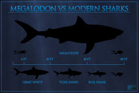 Shark Size Comparison Chart Megalodon Shark Tooth Buyers Guide