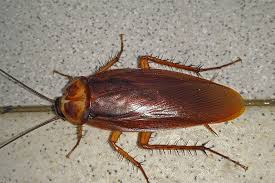Image result for American Cockroach