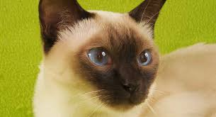 Burmese Kitten Weight Chart Tonkinese Cat A Complete Guide To This Unusual Breed