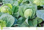 cultivated cabbage