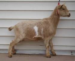 Nigerian Dwarf Goat For Sale Miniature Dairy Milking Animals Care