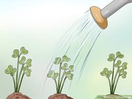 cabbage plant stages. Interesting Cabbage Image Titled Plant Cabbage Step 11 With Stages Y