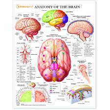 Brain Chart Anatomy Of The Brain Chart Poster Laminated