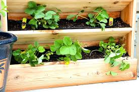 strawberries planted in the vertical garden are perfect for summer there is so much diy watering