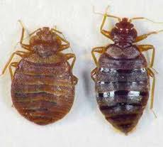 Types Of Bed Bugs Common Bed Bug Types In The Usa