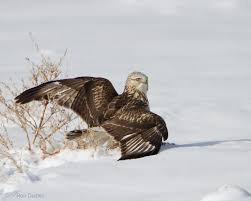 hawk without feathers. Fine Feathers Rough Legged Hawk 3931 Ron Dudley To Hawk Without Feathers C