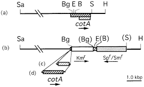 a) Restriction map of a 6.9-kbp DNA insert in plasmid pSC. L-cotA ...