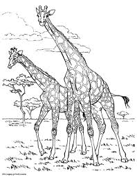 Giraffe Coloring Book Scbu Adult Africa Giraffes Coloring Pages