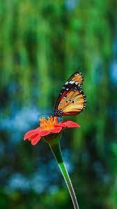 Butterfly HD Android Mobile Wallpapers ...