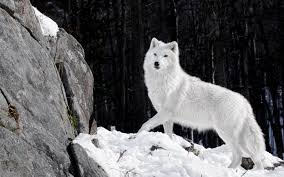 white wolf wallpaper. Interesting Wolf Wide  Throughout White Wolf Wallpaper A