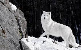 white wolf wallpaper 1920x1080. Brilliant White Wide  For White Wolf Wallpaper 1920x1080