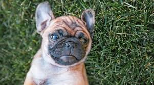 Pug Dog Vaccination Chart Chug Dog Breed Information The Chihuahua Pug Mix
