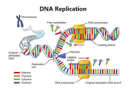 Dna Replication Process Steps Diagram Enzymes Importance For