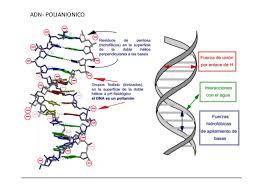 Resultado de imagen de La doble hélice del ADN consiste en dos polinucleótidos enlazados a través de puentes de hidrógeno entre bases de cada cadena.