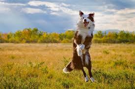 dog australian shepherd widescreen high definition wallpaper images full free cute pets curr 1920 1280 wallpaper hd