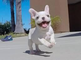 grown white french bulldog. Brilliant Bulldog U0027Isabellau0027 Our Beautiful Female French Bulldog Puppy For Sale In San Diego To Grown White U