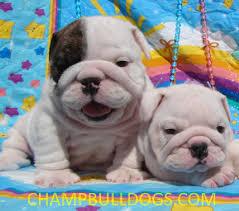 white baby english bulldog.  Baby White Baby English Bulldog  Photo21 And Baby English Bulldog U