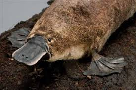 Platypus Facts Live Science