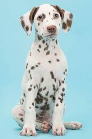 15 spotted dog breeds see how many