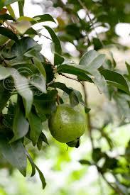 Tropical Bounty Cas Fruit Identification  Dream A Lil DreamGreen Fruit Tree Identification