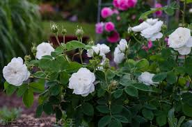 madame hardy types of roses hedgerow rose