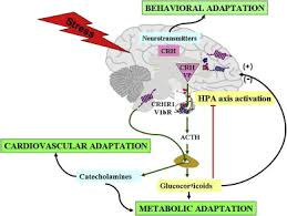 The Hypothalamic Pituitary Adrenal Axis And Neuroendocrine Responses